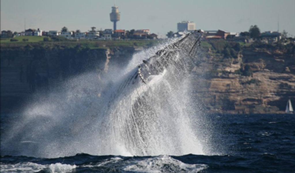 Off The Map Charters Whale Breaching image